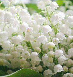 Hương hoa cỏ xạ hương