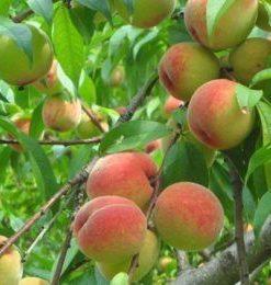 Hương trái cây Chypre